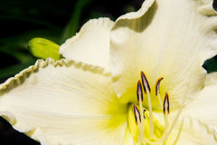 Daylily. Pretty yellow daylily in full bloom Royalty Free Stock Image