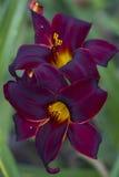 Daylily rouge de velours avec le fond vert 2 Photos stock