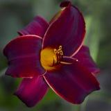 Daylily rouge de velours avec le fond vert Images stock