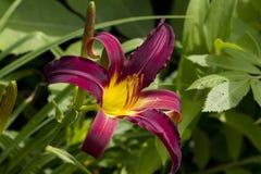 Daylily rouge et jaune vibrant Photos libres de droits