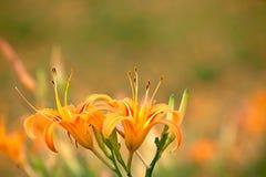 daylily sextio sten för blommamountatin Arkivbild