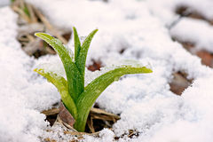 Daylily shoot in the snow Stock Images
