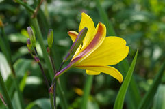 Daylily of the species Corky Royalty Free Stock Photo