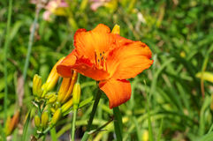 Daylily of the species Wiener Licht Royalty Free Stock Photos