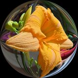 Daylily in Squared Circle royalty free stock image