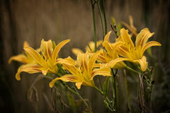 Daylily Sunglow Stock Photography