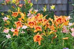 daylily trädgård arkivbilder
