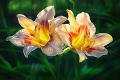 Daylily. Two flowers of a peach-colored daylily with yellow and red, illuminated by sunset sunlight against a background of dark foliage Stock Image
