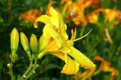 Daylily. Yellow daylily hemerocallis in the garden Stock Photos