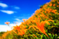 Daylilybloem bij zestig Steenberg Stock Foto