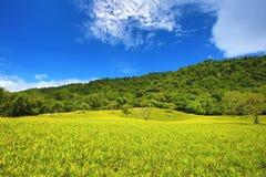 Daylilyknoppen die op de heuvel groeien Stock Foto's