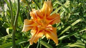 Daylilysinaasappel variëteits Royalty-vrije Stock Foto