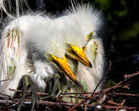 Days old baby White egrets huddle together for warmth Stock Photography