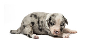 3 days old crossbreed puppy. Isolated on white royalty free stock images