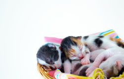 3 Days old Kitty in a Basket. Photo Royalty Free Stock Photo