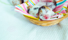 3 Days old Kitty in a Basket. Photo Royalty Free Stock Photography