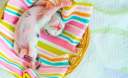 3 Days old Kitty in a Basket Royalty Free Stock Photo