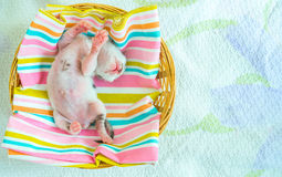 3 Days old Kitty in a Basket Royalty Free Stock Image
