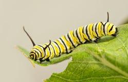 8 days old Monarch caterpillar Stock Photo