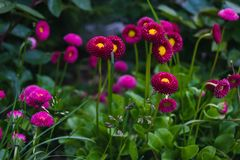 Daysies lumineux dans le jardin Photo stock