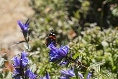 Daytime butterfly Red Admiral sits on a flower of willow gentian Royalty Free Stock Photography