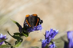 Daytime butterfly Red Admiral sits on a flower of willow gentian Stock Photography