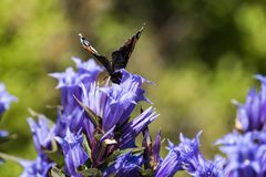 Daytime butterfly Red Admiral sits on a flower of willow gentian Royalty Free Stock Image