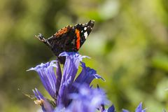 Daytime butterfly Red Admiral sits on a flower of willow gentian Stock Image