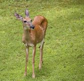Daytime doe Royalty Free Stock Photos
