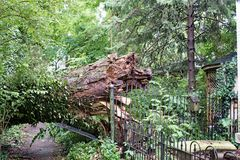 Fifty-foot-wide Tree Downed in Storm Royalty Free Stock Photo