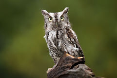 Dazed & Confused. Eastern Screech-Owl staring at the camera with a dazed expression Stock Image