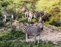 A dazzle of Burchell`s zebra royalty free stock photos