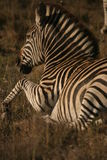 A Dazzle of Dashes. African Plains Zebra in the Kafue National Park, Zambia Royalty Free Stock Photos