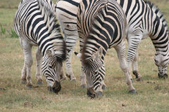 A Dazzle Of Zebra. Group of three zebra grazing in Addo Elephant national park, South Africa Royalty Free Stock Images