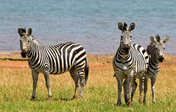 Dazzle of Zebras (Equus quagga)Standing looking directly at camera Stock Photo