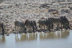 Dazzle of Zebras Stock Photos
