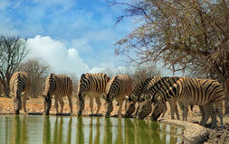 Dazzle of Zebras with heads down drinking in a straight line Stock Photography