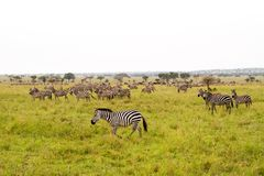 A Dazzle of Zebras and implausibility of blue wildebeest. Field with zebras Equus and blue wildebeest Connochaetes taurinus, common wildebeest, white-bearded Stock Photos