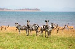 Dazzle of zebras on the lush plains in zimbabwe Royalty Free Stock Photo