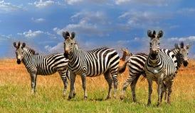 Dazzle of Zebras standing on the lush plains next to Lake Kariba Royalty Free Stock Image