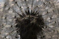 Dazzling Dandelion. Close up in the park, Den Helder, The Netherlands stock photos