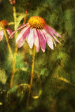 Dazzling Enchanted Echinacea Coneflower. This is a coneflower, echinacea with textures and grunge added for effect royalty free stock images