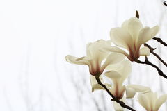 Dazzling magnolia flower. Magnolia flower shape very like lotus, in full bloom, the petals show to the Quartet, with a high ornamental value; for the Royalty Free Stock Images