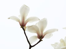 Dazzling magnolia flower. Magnolia flower shape very like lotus, in full bloom, the petals show to the Quartet, with a high ornamental value; for the Stock Photo