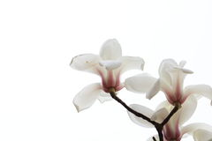 Dazzling magnolia flower. Magnolia flower shape very like lotus, in full bloom, the petals show to the Quartet, with a high ornamental value; for the Stock Photos