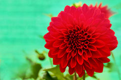 Dazzling Red Dahlia Daisy Flower With Beautiful Petals Stock Image