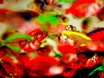 Dazzling tropical fish. Colorful tropical fish look dazzling of diverse colors Stock Image