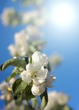 Dazzling white flower blossoms with pink unopened Royalty Free Stock Photography