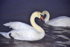 Dazzling white swans couple at night sea Royalty Free Stock Image