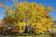 Dazzling Yellow Ginkgo Maidenhair Tree Virginia Royalty Free Stock Images